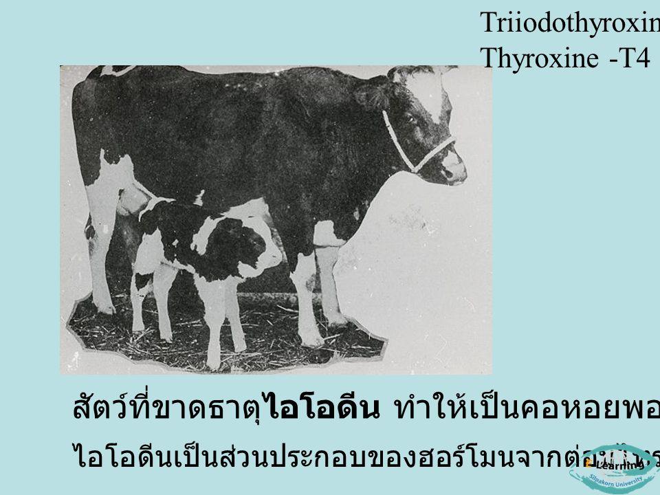 สัตว์ที่ขาดธาตุไอโอดีน ทำให้เป็นคอหอยพอก (Goitor) ไอโอดีนเป็นส่วนประกอบของฮอร์โมนจากต่อมไทรอยด์ Triiodothyroxine -T3 Thyroxine -T4