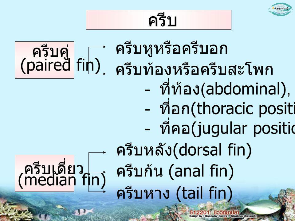 ครีบหูหรือครีบอก ครีบท้องหรือครีบสะโพก - ที่ท้อง (abdominal), - ที่อก (thoracic position), - ที่คอ (jugular position) ครีบหลัง (dorsal fin) ครีบก้น (anal fin) ครีบหาง (tail fin) ครีบคู่ (paired fin) ครีบเดี่ยว (median fin) ครีบ