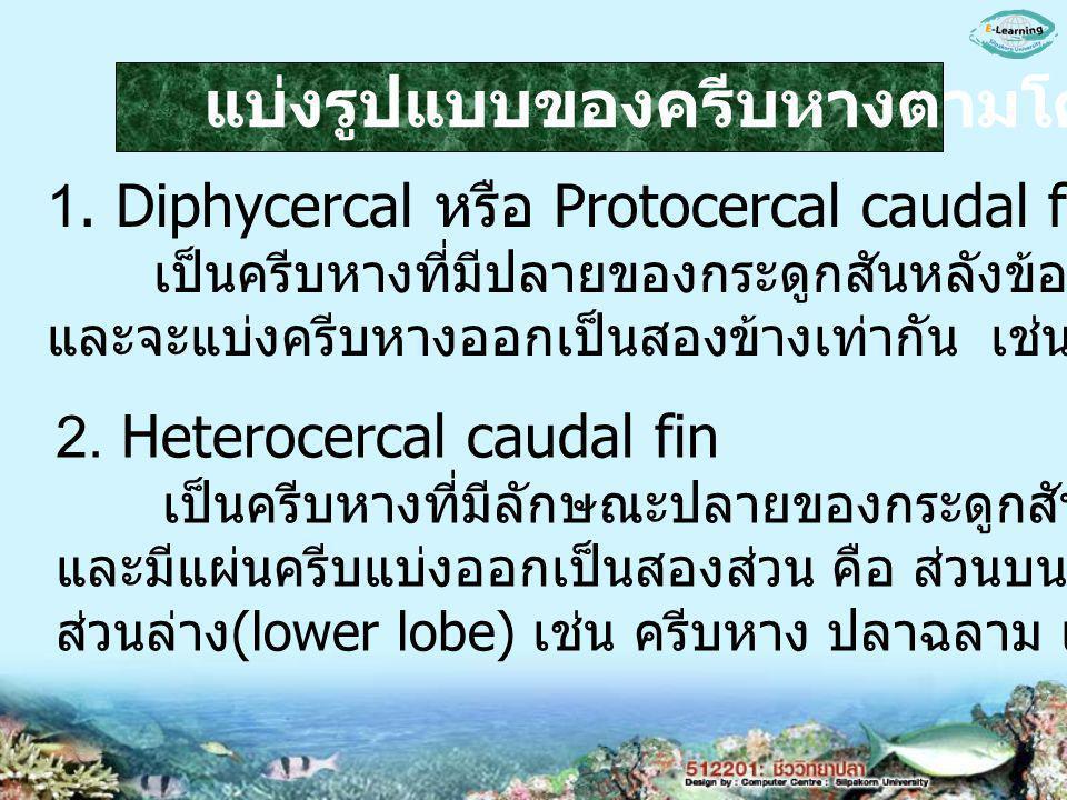 1. Diphycercal หรือ Protocercal caudal fin เป็นครีบหางที่มีปลายของกระดูกสันหลังข้อสุดท้ายเหยียดตรง และจะแบ่งครีบหางออกเป็นสองข้างเท่ากัน เช่น หางของ c