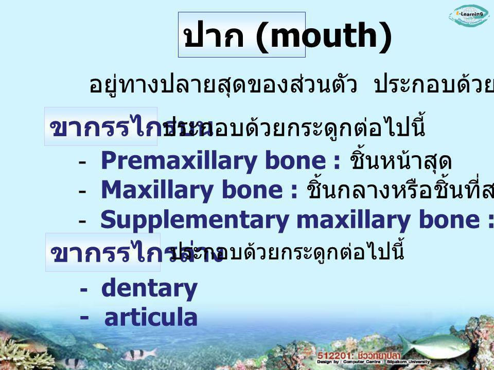 ปาก (mouth) อยู่ทางปลายสุดของส่วนตัว ประกอบด้วย ขากรรไกรบน ขากรรไกรล่าง ประกอบด้วยกระดูกต่อไปนี้ - Premaxillary bone : ชิ้นหน้าสุด - Maxillary bone : ชิ้นกลางหรือชิ้นที่สอง - Supplementary maxillary bone : ชิ้นที่สาม ประกอบด้วยกระดูกต่อไปนี้ - dentary - articula