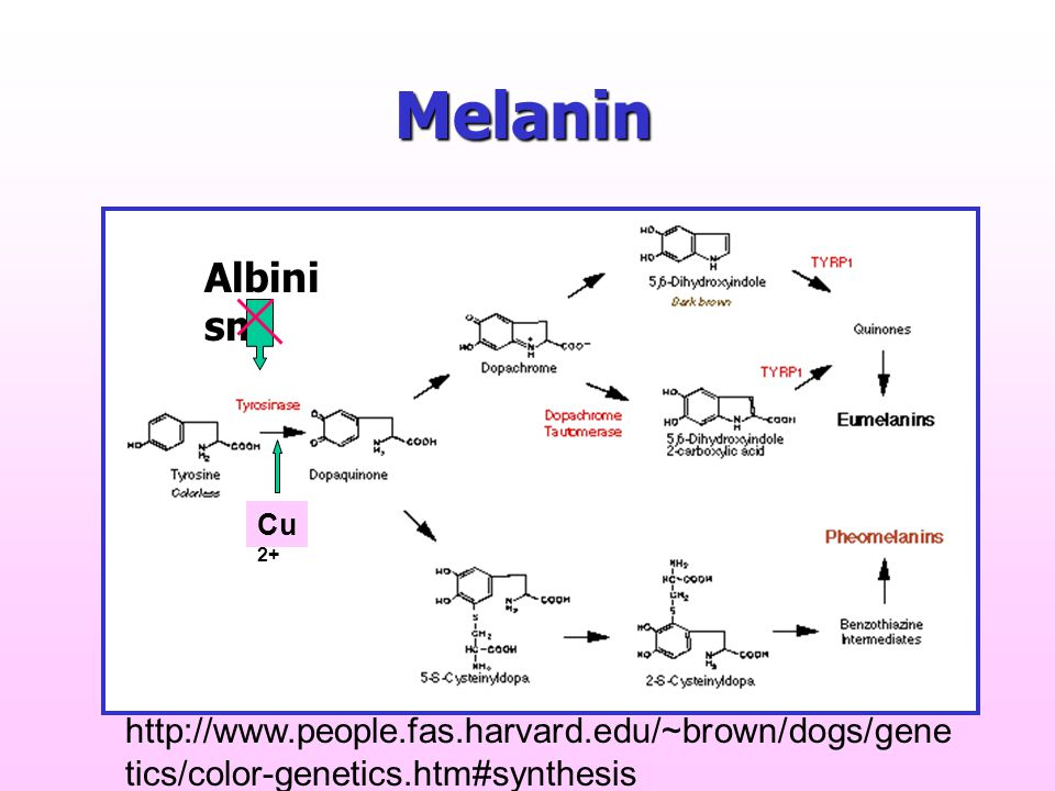 Melanin http://www.people.fas.harvard.edu/~brown/dogs/gene tics/color-genetics.htm#synthesis Cu 2+ Albini sm