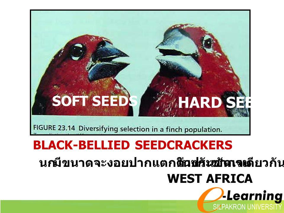SOFT SEEDS HARD SEEDS นก มีขนาดจะงอยปากแตกต่างกันชัดเจน ในประชากรเดียวกัน WEST AFRICA BLACK-BELLIED SEEDCRACKERS