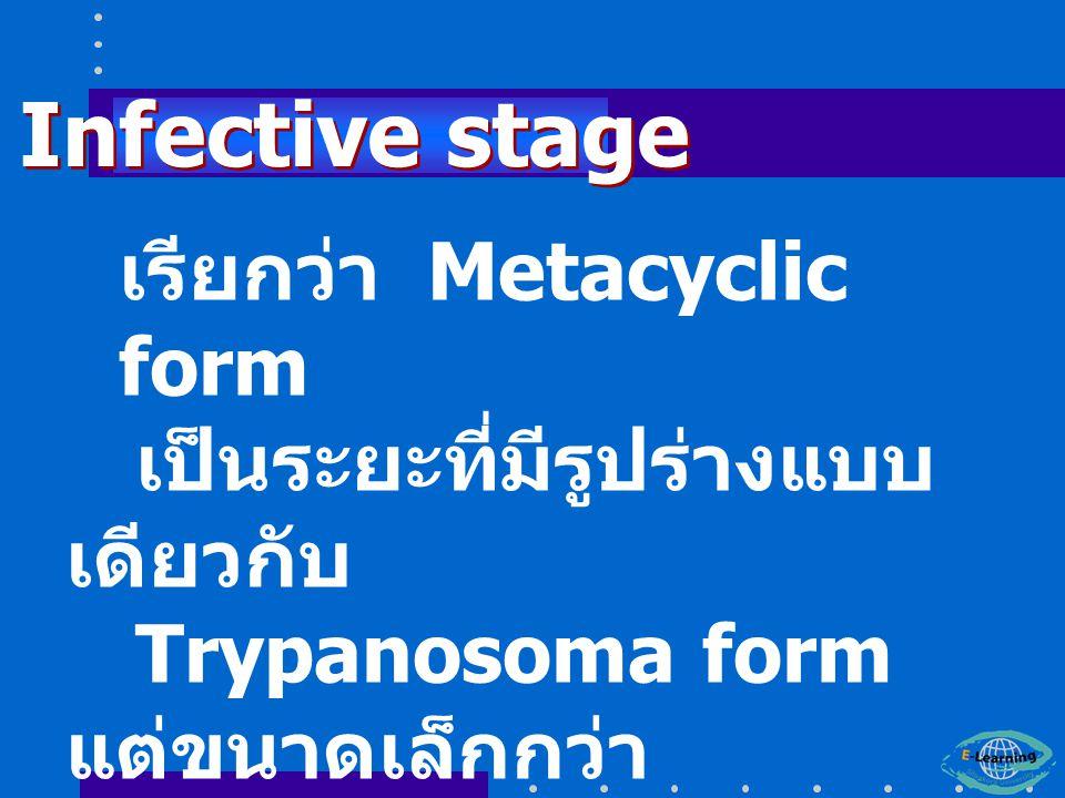 เรียกว่า Metacyclic form เป็นระยะที่มีรูปร่างแบบ เดียวกับ Trypanosoma form แต่ขนาดเล็กกว่า Infective stage