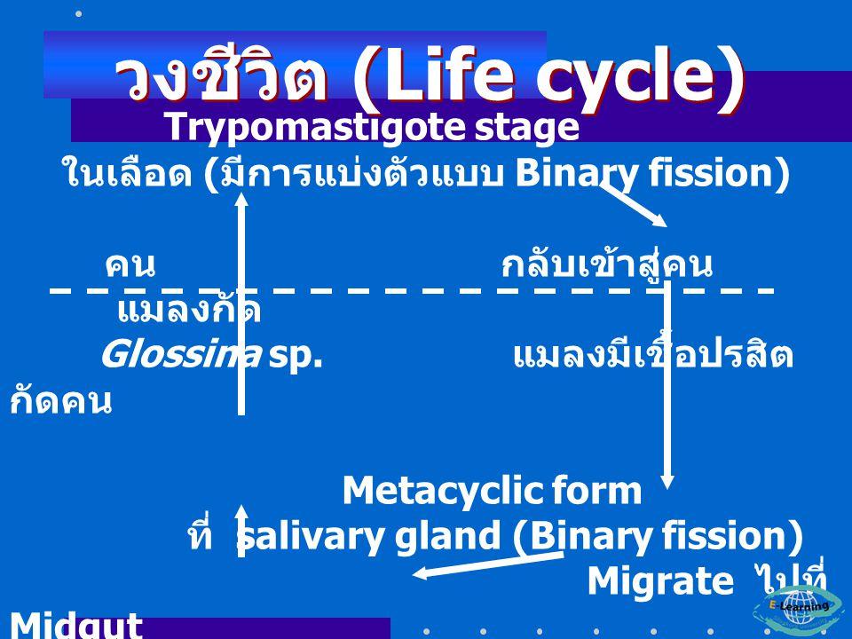 Trypomastigote stage ในเลือด ( มีการแบ่งตัวแบบ Binary fission) คน กลับเข้าสู่คน แมลงกัด Glossina sp.