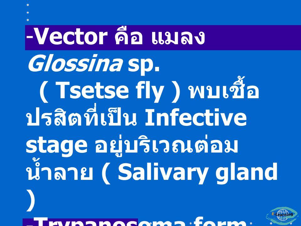 -Vector คือ แมลง Glossina sp.