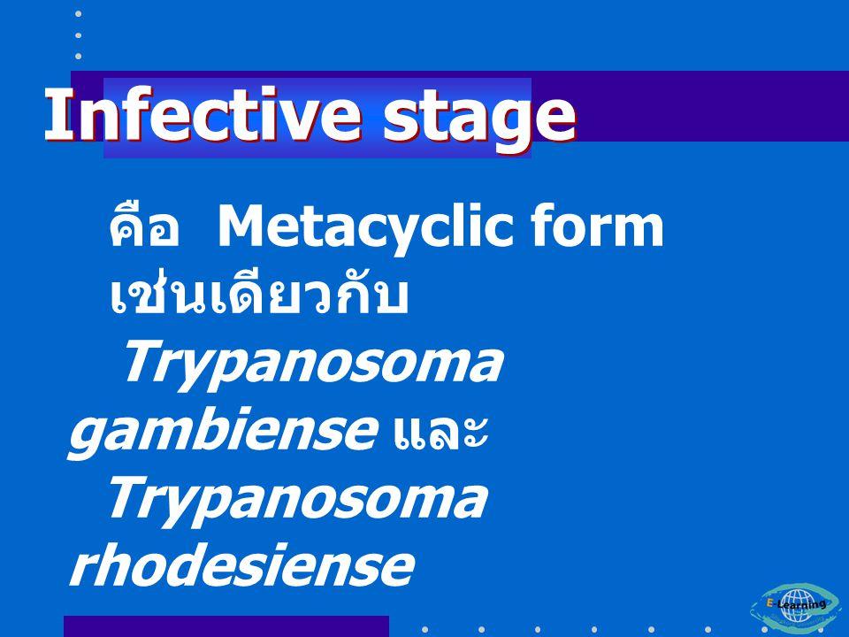 คือ Metacyclic form เช่นเดียวกับ Trypanosoma gambiense และ Trypanosoma rhodesiense Infective stage