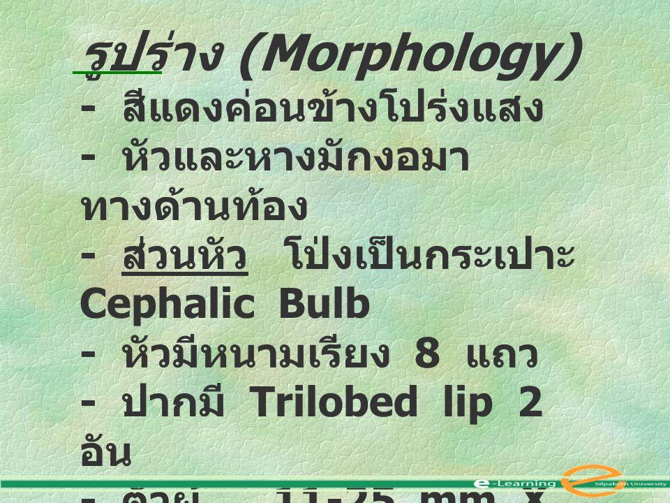 รูปร่าง (Morphology) - สีแดงค่อนข้างโปร่งแสง - หัวและหางมักงอมา ทางด้านท้อง - ส่วนหัว โป่งเป็นกระเปาะ Cephalic Bulb - หัวมีหนามเรียง 8 แถว - ปากมี Trilobed lip 2 อัน - ตัวผู้ 11-25 mm X 1-2 mm - ตัวเมีย 25-45 mm X 3-6 mm - Larva มี spine 4 แถว ที่หัว