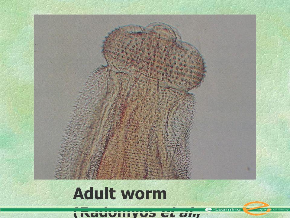 Adult worm (Radomyos et al., 1997)