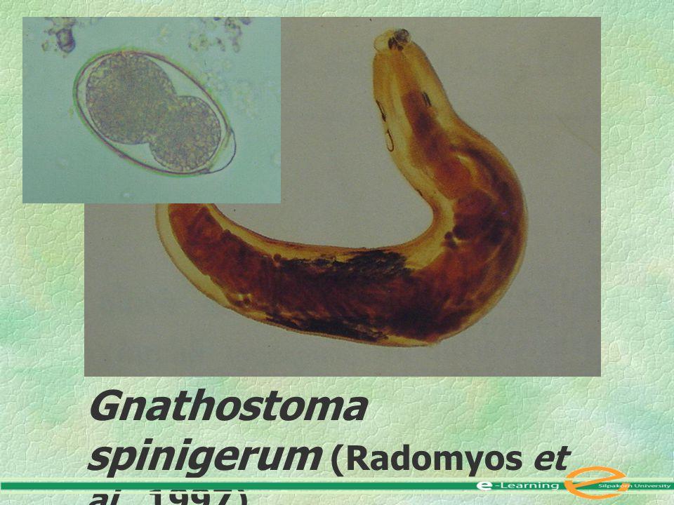 Gnathostoma spinigerum (Radomyos et al., 1997) Female