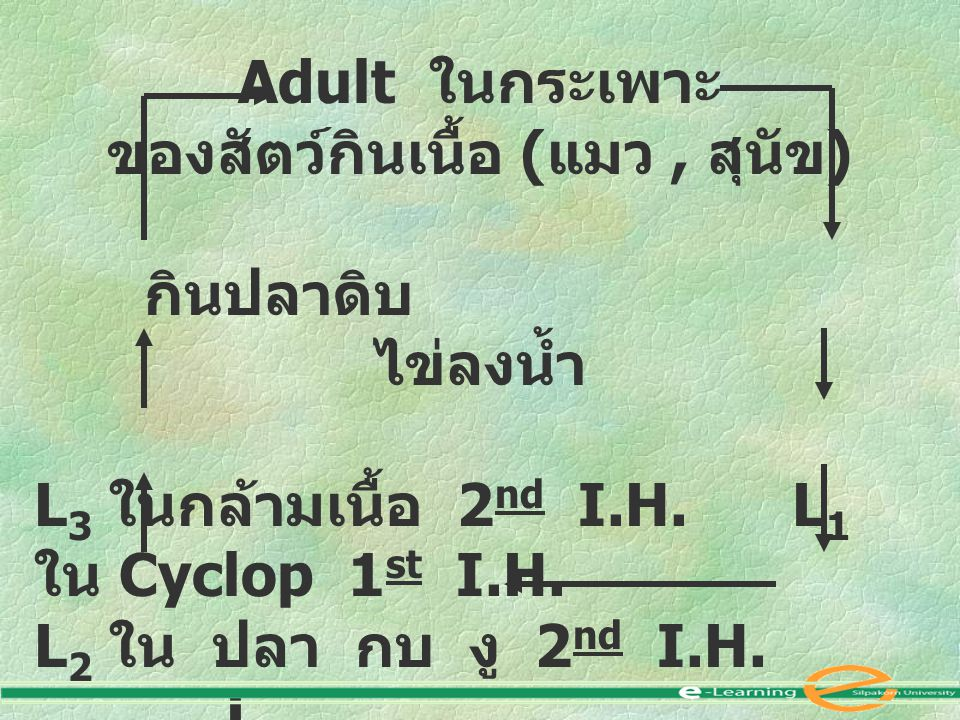 Adult ในกระเพาะ ของสัตว์กินเนื้อ ( แมว, สุนัข ) กินปลาดิบ ไข่ลงน้ำ L 3 ในกล้ามเนื้อ 2 nd I.H. L 1 ใน Cyclop 1 st I.H. L 2 ใน ปลา กบ งู 2 nd I.H. L 2
