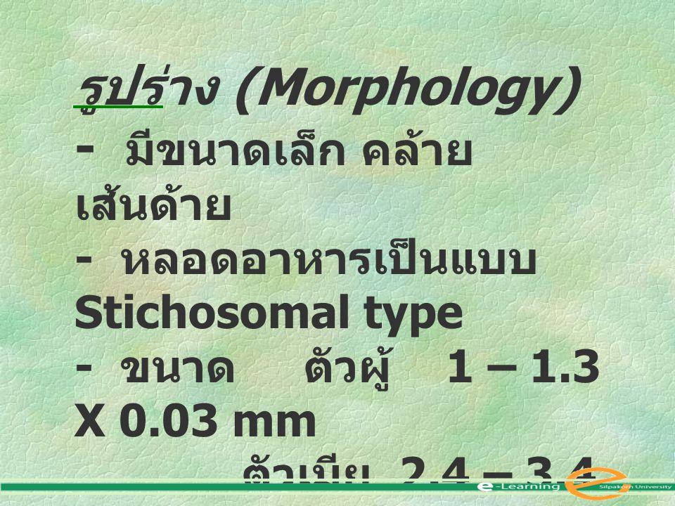 รูปร่าง (Morphology) - มีขนาดเล็ก คล้าย เส้นด้าย - หลอดอาหารเป็นแบบ Stichosomal type - ขนาด ตัวผู้ 1 – 1.3 X 0.03 mm ตัวเมีย 2.4 – 3.4 X 0.06 mm