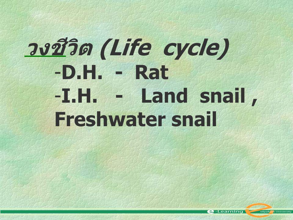 วงชีวิต (Life cycle) -D.H. - Rat -I.H. - Land snail, Freshwater snail
