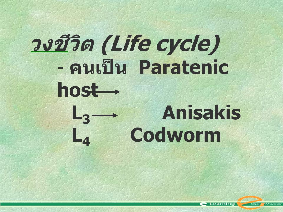 วงชีวิต (Life cycle) - คนเป็น Paratenic host L 3 Anisakis L 4 Codworm