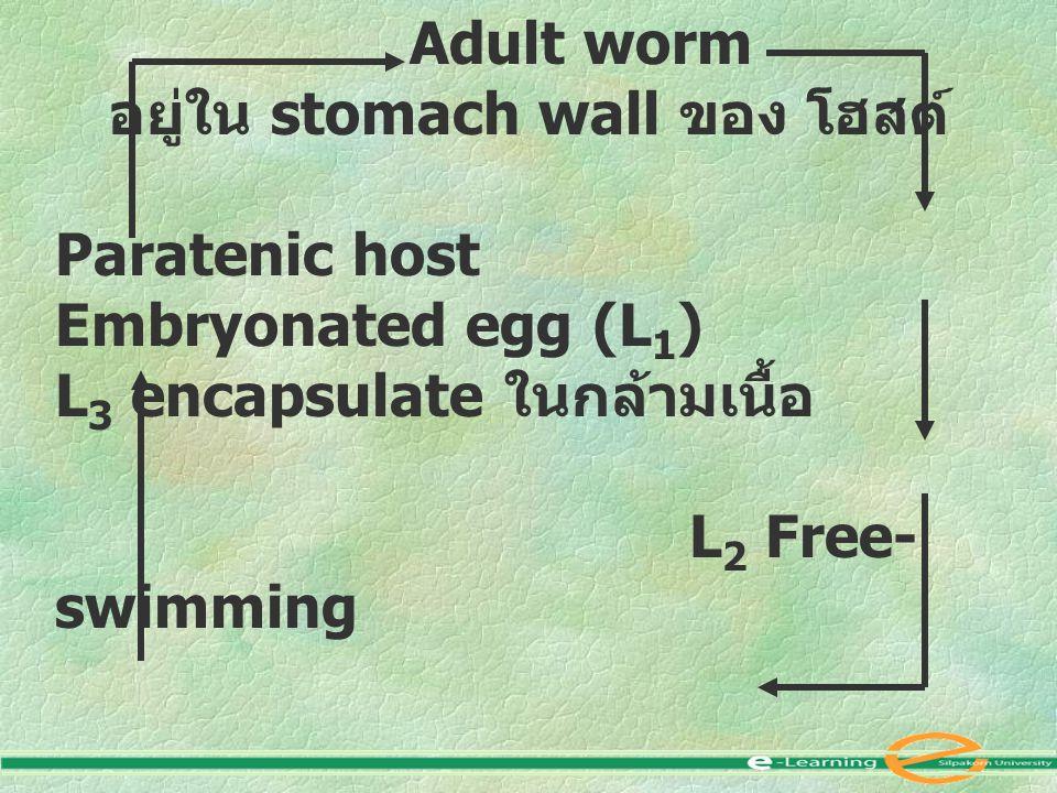 Adult worm อยู่ใน stomach wall ของ โฮสต์ Paratenic host Embryonated egg (L 1 ) L 3 encapsulate ในกล้ามเนื้อ L 2 Free- swimming ถูก กิน Intermediate host พวก Crustacean ( L 3 )