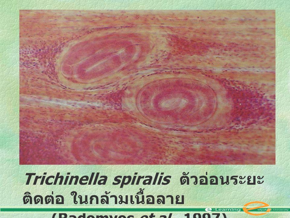 Trichinella spiralis ตัวอ่อนระยะ ติดต่อ ในกล้ามเนื้อลาย (Radomyos et al., 1997)