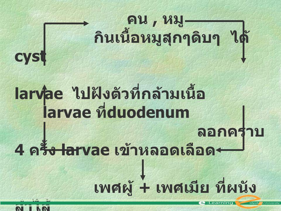 คน, หมู กินเนื้อหมูสุกๆดิบๆ ได้ cyst larvae ไปฝังตัวที่กล้ามเนื้อ larvae ที่ duodenum ลอกคราบ 4 ครั้ง larvae เข้าหลอดเลือด เพศผู้ + เพศเมีย ที่ผนัง ลำ