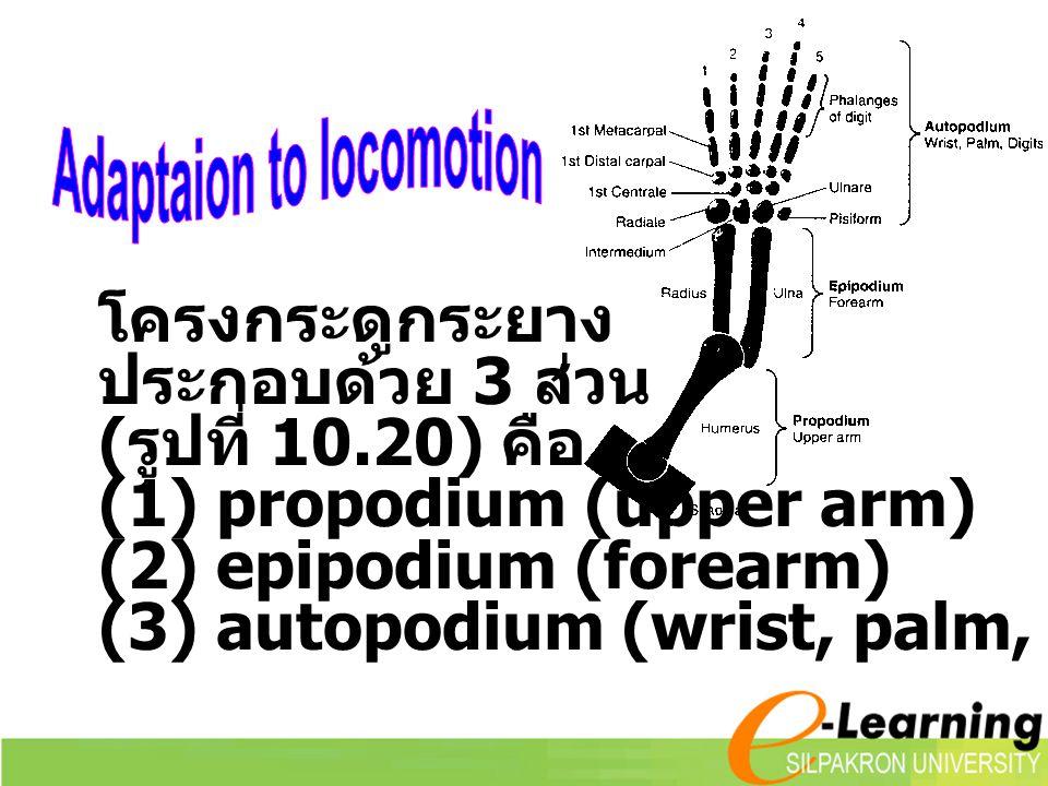 โครงกระดูกระยาง ประกอบด้วย 3 ส่วน ( รูปที่ 10.20) คือ (1) propodium (upper arm) (2) epipodium (forearm) (3) autopodium (wrist, palm, digits)