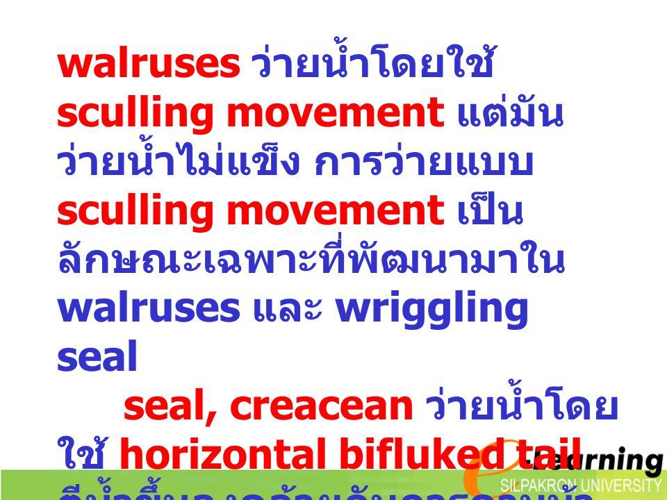 walruses ว่ายน้ำโดยใช้ sculling movement แต่มัน ว่ายน้ำไม่แข็ง การว่ายแบบ sculling movement เป็น ลักษณะเฉพาะที่พัฒนามาใน walruses และ wriggling seal s