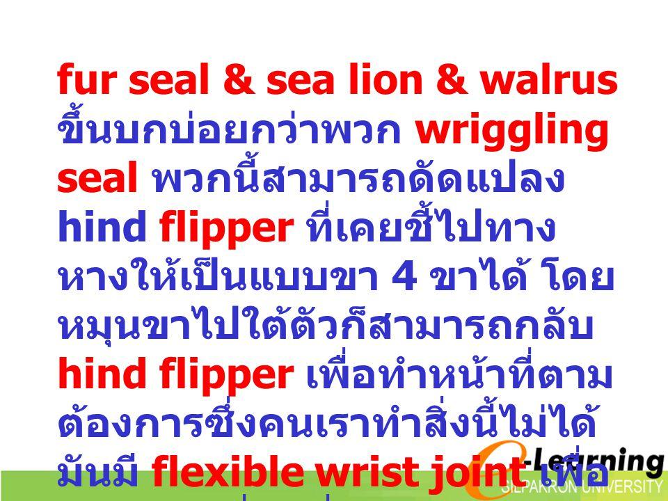 fur seal & sea lion & walrus ขึ้นบกบ่อยกว่าพวก wriggling seal พวกนี้สามารถดัดแปลง hind flipper ที่เคยชี้ไปทาง หางให้เป็นแบบขา 4 ขาได้ โดย หมุนขาไปใต้ต