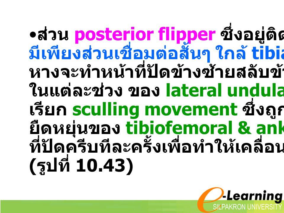 ส่วน posterior flipper ซึ่งอยู่ติดกับลำตัวมาก มีเพียงส่วนเชื่อมต่อสั้นๆ ใกล้ tibia ชี้ไปทาง หางจะทำหน้าที่ปัดข้างซ้ายสลับข้างขวา ในแต่ละช่วง ของ later