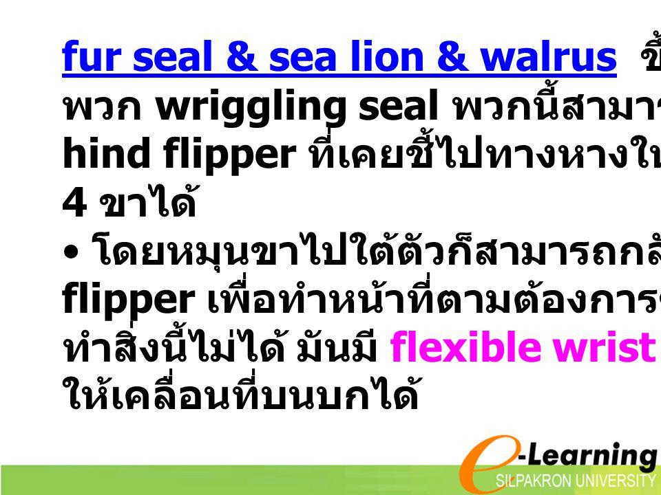 fur seal & sea lion & walrus ขึ้นบกบ่อยกว่า พวก wriggling seal พวกนี้สามารถดัดแปลง hind flipper ที่เคยชี้ไปทางหางให้เป็นแบบขา 4 ขาได้ โดยหมุนขาไปใต้ตั