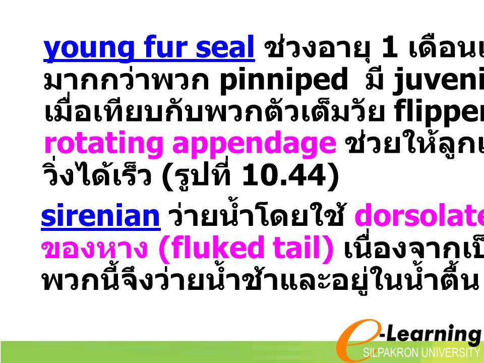 young fur seal ช่วงอายุ 1 เดือนแรกจะอยู่บนบก มากกว่าพวก pinniped มี juvenile flippers ใหญ่ เมื่อเทียบกับพวกตัวเต็มวัย flippers นี้และ rotating appenda