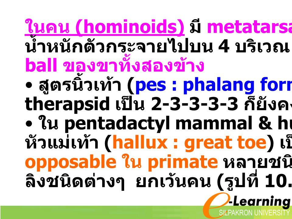 ในคน (hominoids) มี metatarsal arch ทำให้ น้ำหนักตัวกระจายไปบน 4 บริเวณ คือ heel & ball ของขาทั้งสองข้าง สูตรนิ้วเท้า (pes : phalang formulars) ใน the