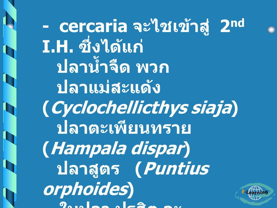 วงชีวิต (Life cycle) - Adult อาศัยอยู่ในท่อน้ำดีในตับ ของ Definitive host ( พบใน คน, สุนัข และแมว ) - ไข่ถูก หอย (1 st I.H.
