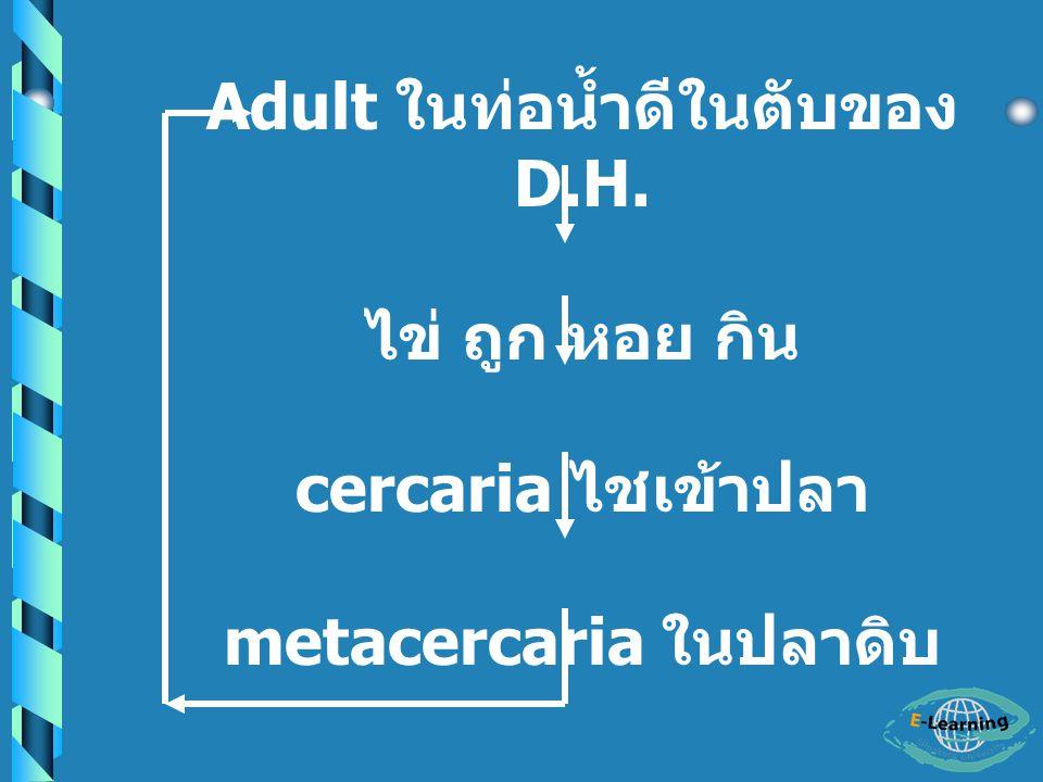 - cercaria จะไชเข้าสู่ 2 nd I.H.