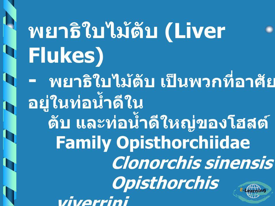 พยาธิใบไม้ตับ (Liver Flukes) - พยาธิใบไม้ตับ เป็นพวกที่อาศัย อยู่ในท่อน้ำดีใน ตับ และท่อน้ำดีใหญ่ของโฮสต์ Family Opisthorchiidae Clonorchis sinensis Opisthorchis viverrini Opisthorchis felineus