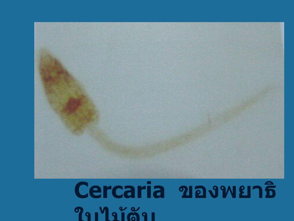 หอย Bithynia sp.