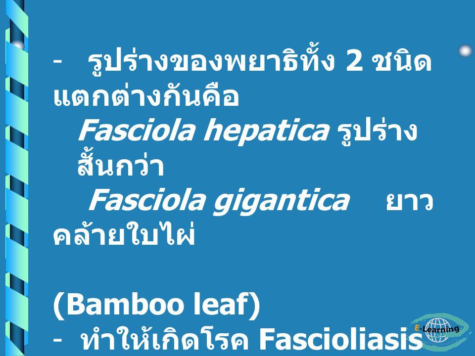 Family Fasciolidae Fasciola hepatica Fasciola gigantica - เป็นพยาธิใบไม้ในตับ แกะ วัว ควาย - ในคนมักพบเป็น Ectopic foci คือจะอยู่นอกตับ - ขนาดของ พยาธิตัวแก่ ไข่ และ ตัวอ่อน ใหญ่