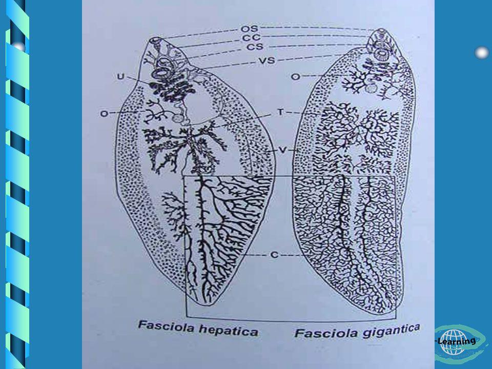 - รูปร่างของพยาธิทั้ง 2 ชนิด แตกต่างกันคือ Fasciola hepatica รูปร่าง สั้นกว่า Fasciola gigantica ยาว คล้ายใบไผ่ (Bamboo leaf) - ทำให้เกิดโรค Fascioliasis หรือ Fasciolosis - เรียก เป็น The sheep liver fluke