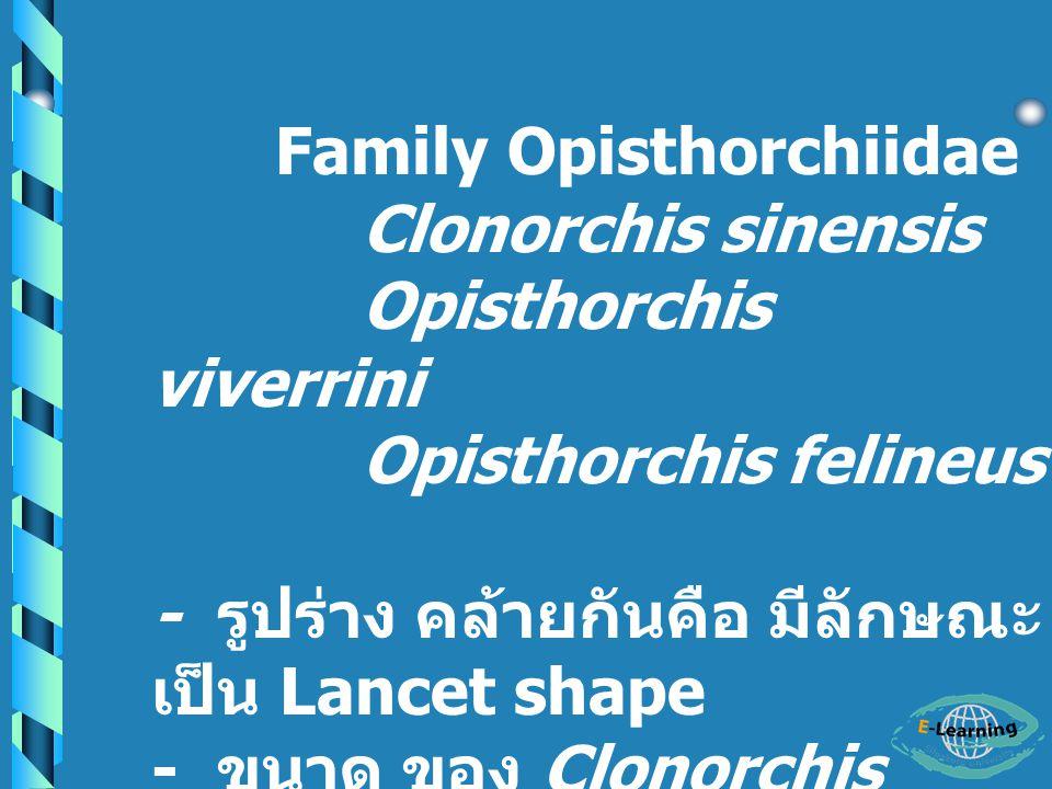 Family Opisthorchiidae Clonorchis sinensis Opisthorchis viverrini Opisthorchis felineus - รูปร่าง คล้ายกันคือ มีลักษณะ เป็น Lancet shape - ขนาด ของ Clonorchis sinensis ใหญ่ที่สุด