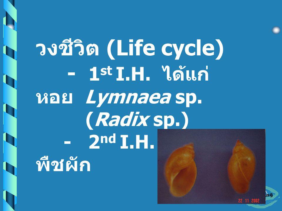 - Pharynx แข็งแรง หลอดอาหารสั้น - Testes มี 2 อัน เป็น แขนง - Ovary เป็นแขนงอยู่ ทางด้านหน้า Anterior testes - ไข่ใบใหญ่ รูป ovoidal มี operculum เล็กๆ สีน้ำตาลอม เหลือง ขนาด 130 – 150 X 60 –80 um