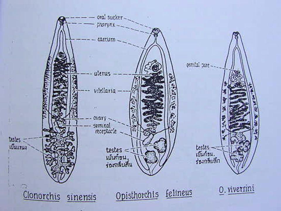 Adult ในท่อน้ำดีในตับของ D.H. ไข่ ถูก หอย กิน cercaria ไชเข้าปลา metacercaria ในปลาดิบ