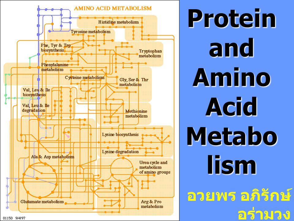 Amino Acid Pool กรดอะมิโนที่สามารถถูกนำไปใช้ใน กระบวนการ metabolism ได้ทันทีจัดว่าอยู่ใน กรดอะมิโนมีหน้าที่เป็น - สารตั้งต้นในการ สังเคราะห์โปรตีน - แหล่งไนโตรเจน ( หมู่อะมิโน ) - ให้พลังงาน ( โครงคาร์บอน ) metabolism ของกรดอะมิโนจึงเป็นปฏิกิริยาที่ ซับซ้อนต่อเนื่องโดยกรดอะมิโนจะถูกนำไปสร้างเป็น โปรตีน และขณะเดียวกันโปรตีนก็ถูกสลายให้เป็น พลังงานตลอดเวลา เกิด amino acid pool การหมุนเวียนของโปรตีน (protein turnover)