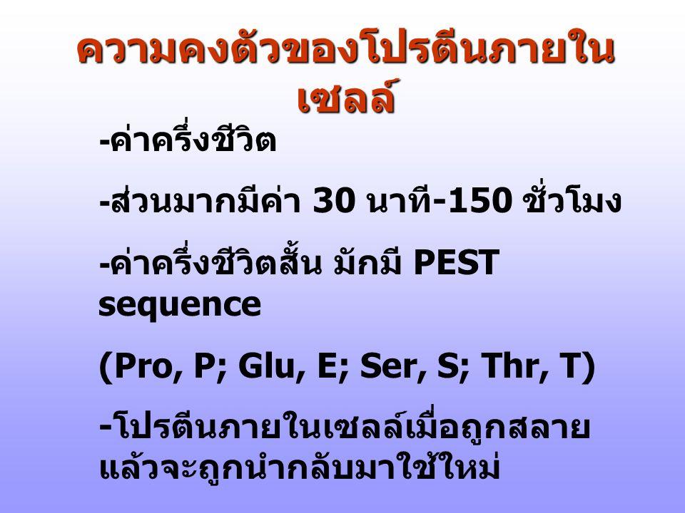 ความคงตัวของโปรตีนภายใน เซลล์ - ค่าครึ่งชีวิต - ส่วนมากมีค่า 30 นาที -150 ชั่วโมง - ค่าครึ่งชีวิตสั้น มักมี PEST sequence (Pro, P; Glu, E; Ser, S; Thr