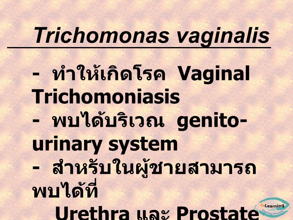- ทำให้เกิดโรค Vaginal Trichomoniasis - พบได้บริเวณ genito- urinary system - สำหรับในผู้ชายสามารถ พบได้ที่ Urethra และ Prostate gland Trichomonas vaginalis