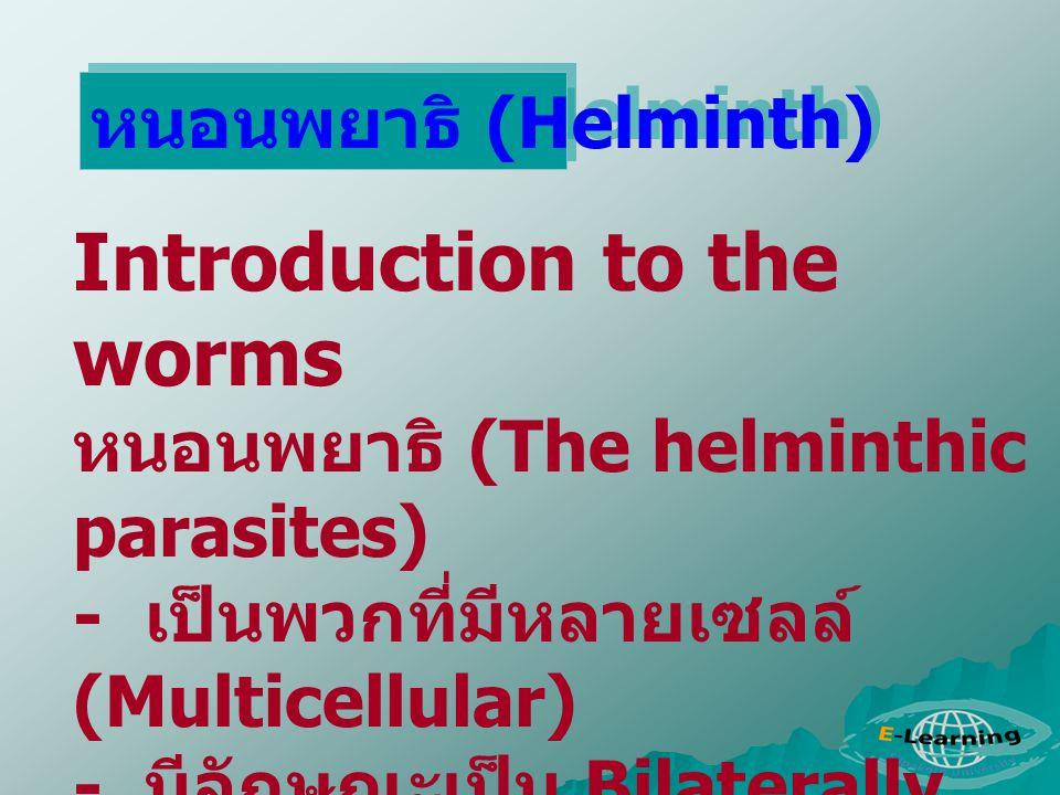 Introduction to the worms หนอนพยาธิ (The helminthic parasites) - เป็นพวกที่มีหลายเซลล์ (Multicellular) - มีลักษณะเป็น Bilaterally symmetrical animal -