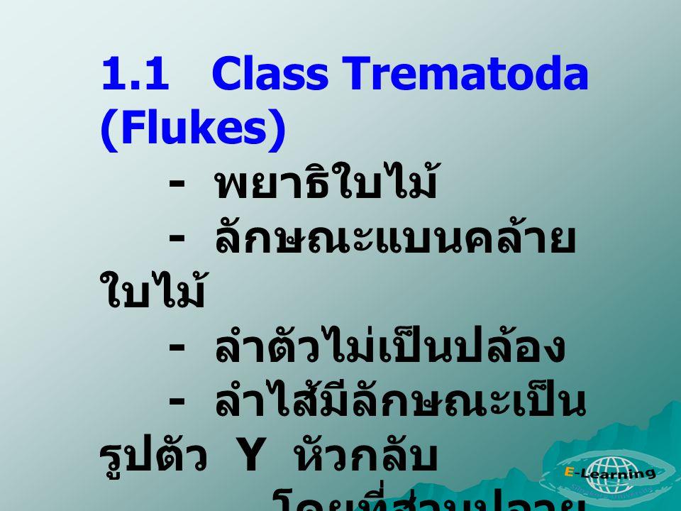 1.1 Class Trematoda (Flukes) - พยาธิใบไม้ - ลักษณะแบนคล้าย ใบไม้ - ลำตัวไม่เป็นปล้อง - ลำไส้มีลักษณะเป็น รูปตัว Y หัวกลับ โดยที่ส่วนปลาย ( Posterior)