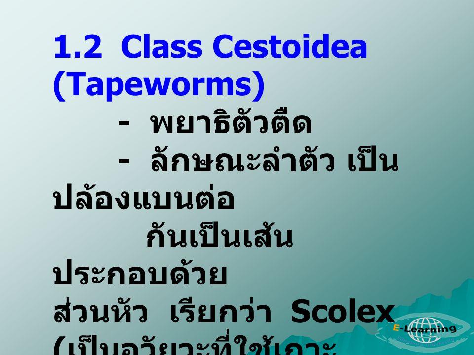 1.2 Class Cestoidea (Tapeworms) - พยาธิตัวตืด - ลักษณะลำตัว เป็น ปล้องแบนต่อ กันเป็นเส้น ประกอบด้วย ส่วนหัว เรียกว่า Scolex ( เป็นอวัยวะที่ใช้เกาะ ติด