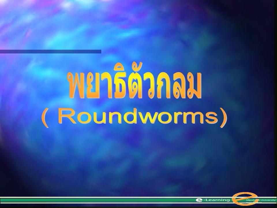 Phylum Nematoda Nematodes หรือ Round worms