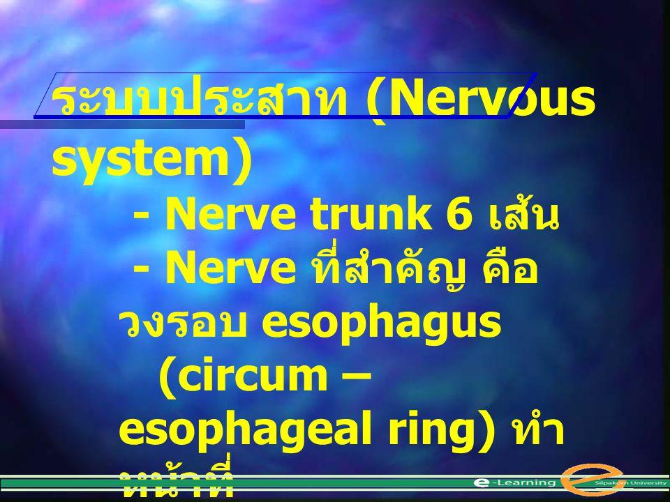 ระบบประสาท (Nervous system) - Nerve trunk 6 เส้น - Nerve ที่สำคัญ คือ วงรอบ esophagus (circum – esophageal ring) ทำ หน้าที่ เป็น nerve center คล้ายสมอ