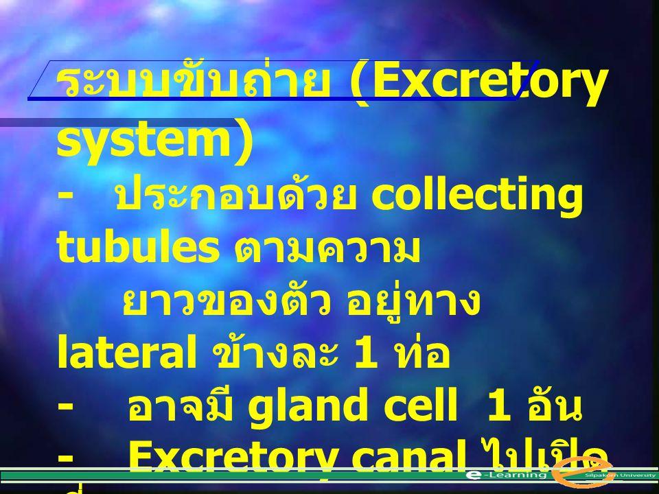 ระบบขับถ่าย (Excretory system) - ประกอบด้วย collecting tubules ตามความ ยาวของตัว อยู่ทาง lateral ข้างละ 1 ท่อ - อาจมี gland cell 1 อัน - Excretory can