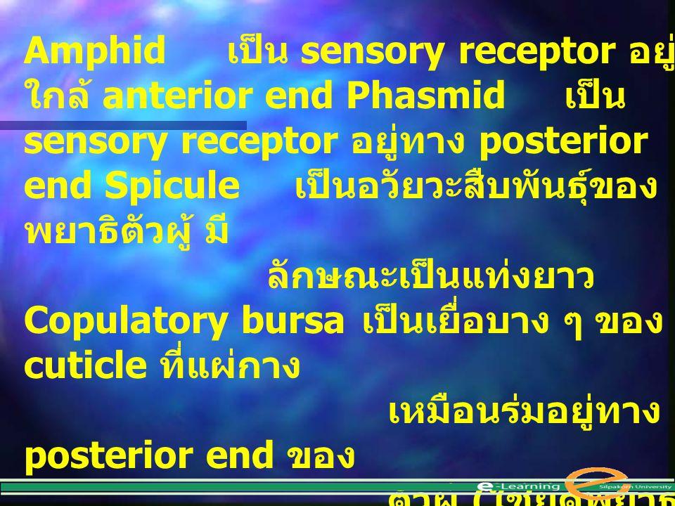 Amphid เป็น sensory receptor อยู่ ใกล้ anterior end Phasmid เป็น sensory receptor อยู่ทาง posterior end Spicule เป็นอวัยวะสืบพันธุ์ของ พยาธิตัวผู้ มี