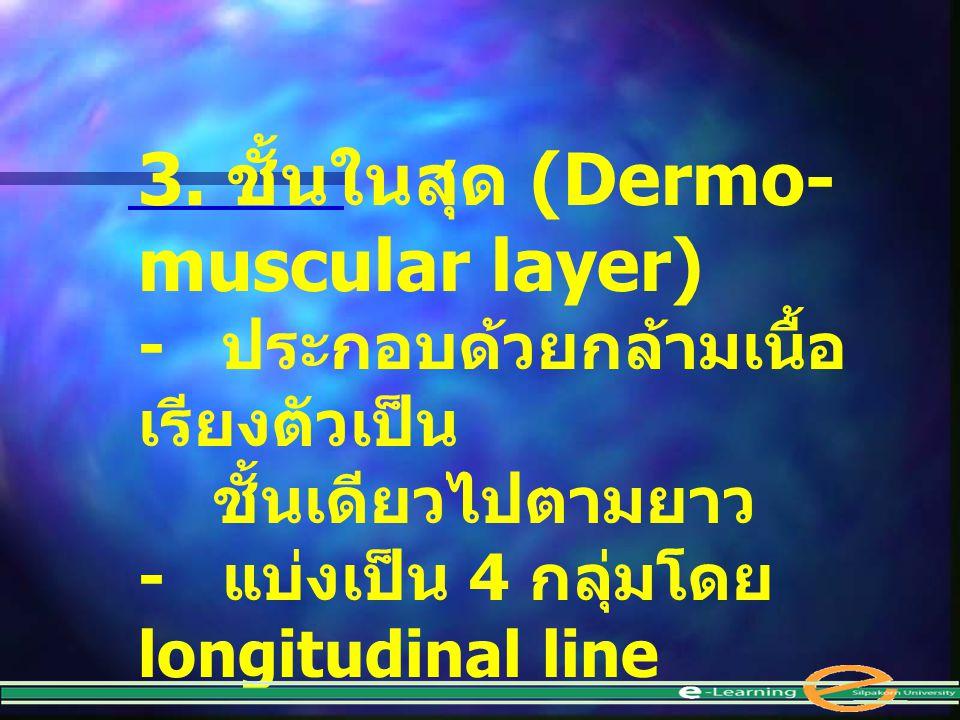 3. ชั้นในสุด (Dermo- muscular layer) - ประกอบด้วยกล้ามเนื้อ เรียงตัวเป็น ชั้นเดียวไปตามยาว - แบ่งเป็น 4 กลุ่มโดย longitudinal line