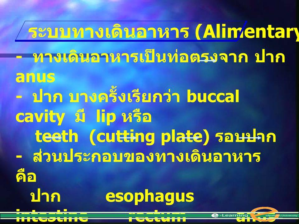 - ทางเดินอาหารเป็นท่อตรงจาก ปาก anus - ปาก บางครั้งเรียกว่า buccal cavity มี lip หรือ teeth (cutting plate) รอบปาก - ส่วนประกอบของทางเดินอาหาร คือ ปาก