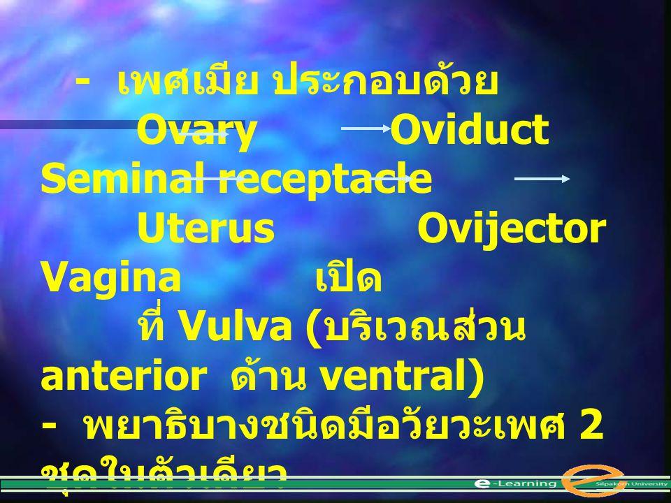 - เพศเมีย ประกอบด้วย Ovary Oviduct Seminal receptacle Uterus Ovijector Vagina เปิด ที่ Vulva ( บริเวณส่วน anterior ด้าน ventral) - พยาธิบางชนิดมีอวัยว