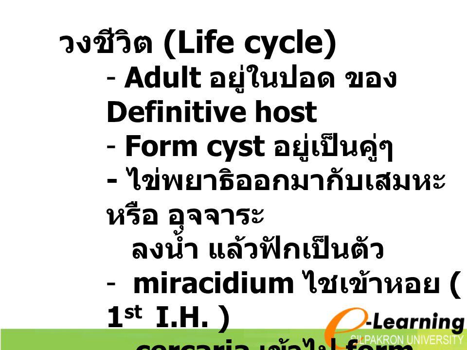 วงชีวิต (Life cycle) - Adult อยู่ในปอด ของ Definitive host - Form cyst อยู่เป็นคู่ๆ - ไข่พยาธิออกมากับเสมหะ หรือ อุจจาระ ลงน้ำ แล้วฟักเป็นตัว - miracidium ไชเข้าหอย ( 1 st I.H.